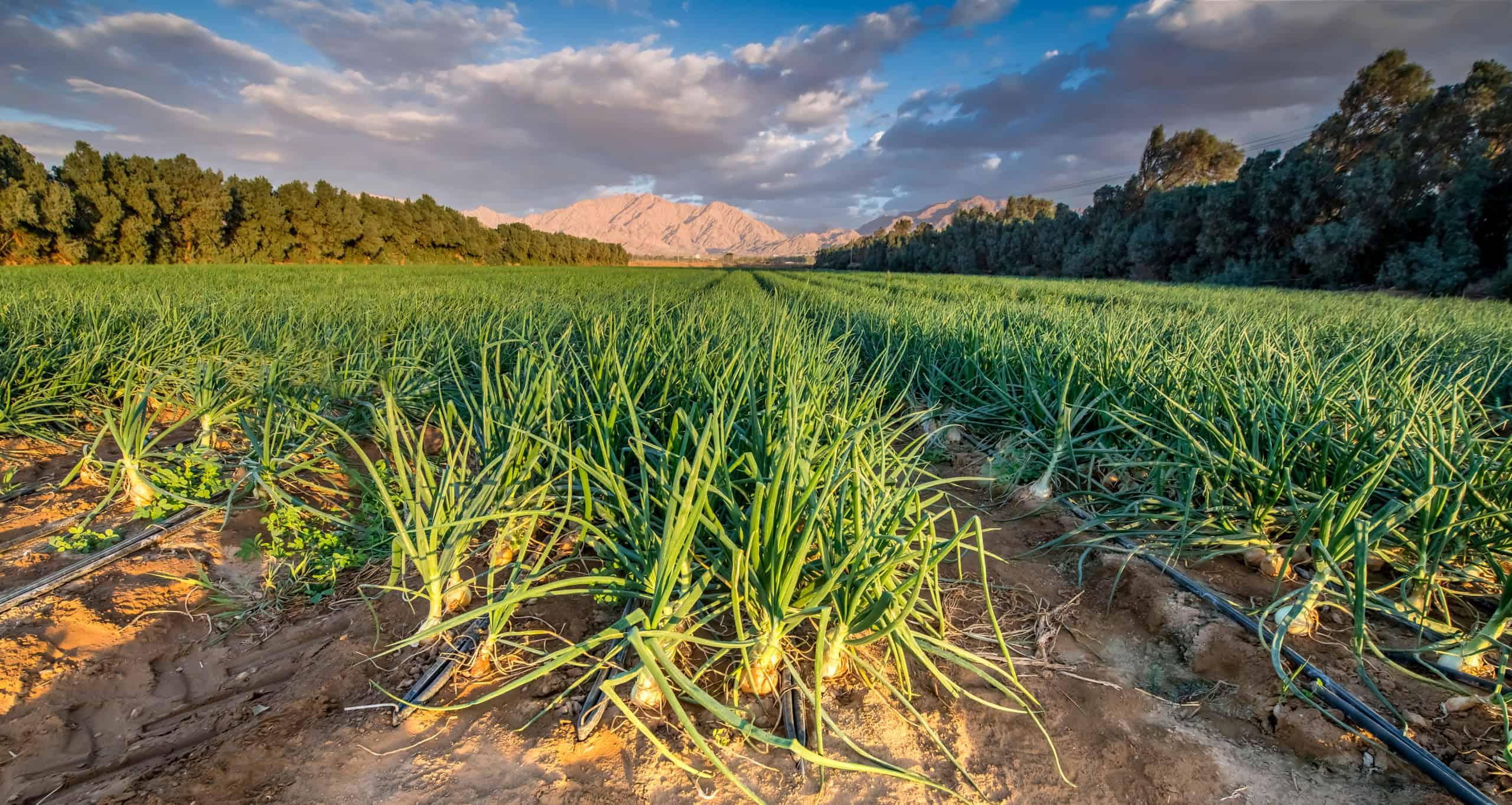 Sustainable agribusiness in water-scarce Saudi Arabia