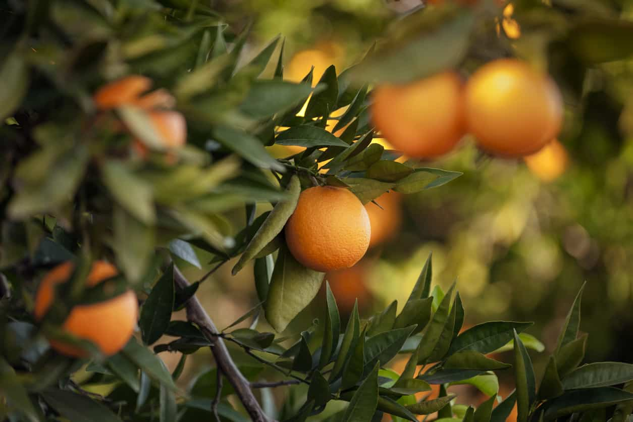 Transaction services for majority acquisition in major Spanish citrus fruit and packing company